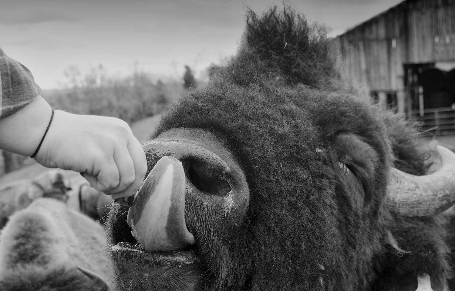 A Bison bull savors a beef cube from a stray hand at B.S. Farms in Lafollette.  photo by Sean Kennedy - 2016