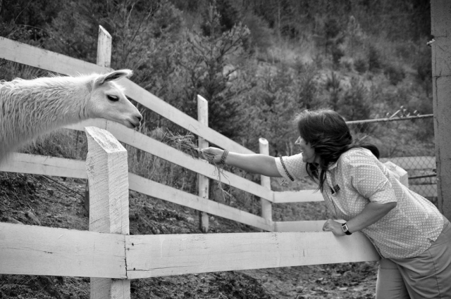 Toni Roberston feeds some grass to one of the llamas at the Hampton Inn. photo by Molly Morgan - 2013
