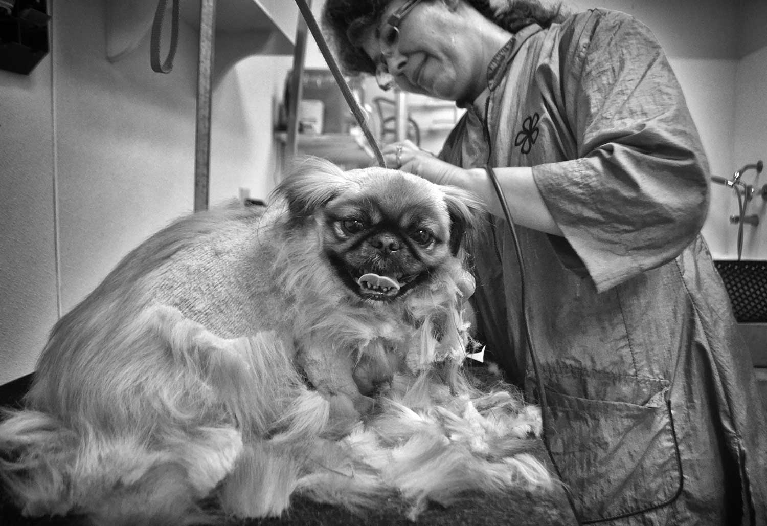 Honey behaves well during a grooming visit at the animal hospital in Campbell County. photo by Alexandra Harper - 2014