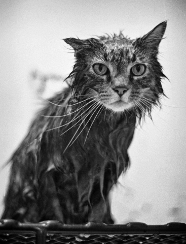 A freshly bathed cat waits patiently to be groomed at LaFollette's World of Pets Saturday afternoon. photo by Matt Emigh - 1999